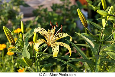 yellow tiger Lily in the garden