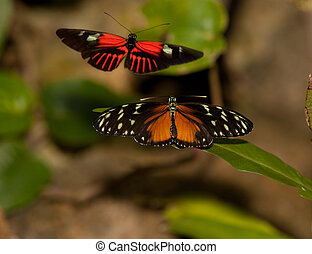 Yellow Tiger Longwing Butterfly and Red Postman Butterfly - ...