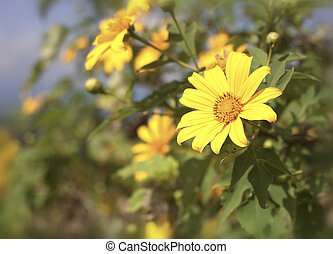 Yellow Tithonia diversifolia flowers field in Thailand