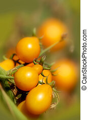 Yellow tomatoes on plant