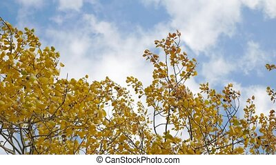 yellow tops autumn trees against a blue sky. beautiful...