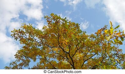 yellow tops oak autumn trees against a blue sky. beautiful...
