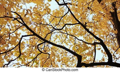 Yellow tops of maple trees in autumn. A park. Nature. Shooting in motion with electronic stabilization.