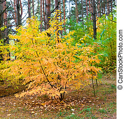 Yellow tree in the forest, nature autumn season