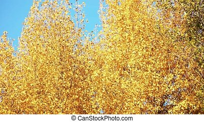 Yellow tree leaves against blue sky background.