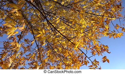 Yellow tree with withered leaves against blue sky, slow motion