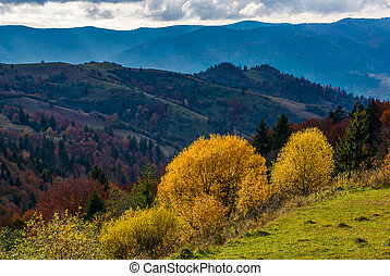 yellow trees on the edge of a hillside in autumn - yellow...