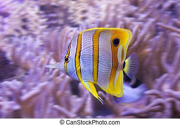 Yellow tropical butterflyfish with white stripes