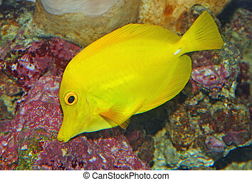 Yellow tropical fish and swim in the clear warm sea waters