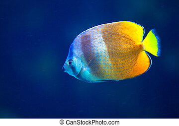 Yellow tropical fish in aquarium