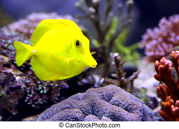 yellow tropical fish that swims in the large marine aquarium
