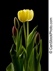Yellow Tulip Blossoms