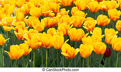 yellow tulip buds with fresh green leaves in soft light on blur background with place for your text. Holland tulip flowers in the park in spring.