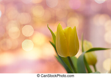 Yellow tulip flower on a pink background
