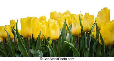 Yellow tulip flower