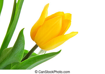 yellow tulip flower with green leaves