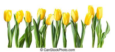 Yellow Tulip Flowers Isolated