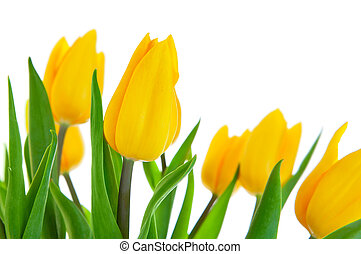 yellow tulip flowers with green leaves