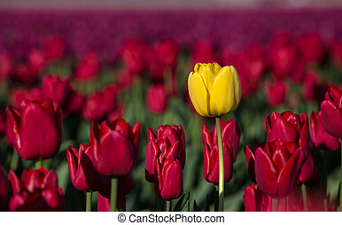 Yellow tulip in a red field