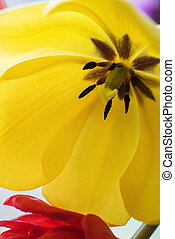 Yellow tulip in a vase.