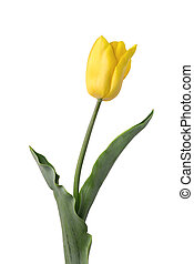 Yellow tulip isolated on white background. Spring Flower.