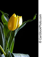 yellow tulip on a black background