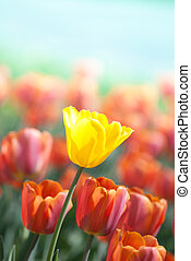 Yellow tulip surrounded by red tulips