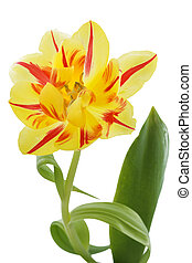 Yellow tulip (tulipa) with red stripes