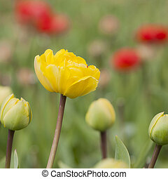 yellow tulip with red ones in the background in garden