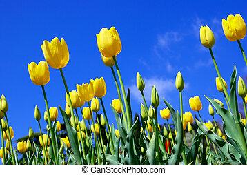 Yellow tulips and sky