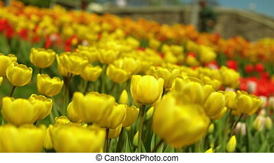 Yellow tulips blooming - Bright yellow flowers are shaking...