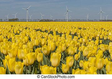 Yellow tulips field in the Noordoostpolder with windmills
