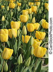 yellow tulips in a field