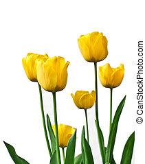 Yellow tulips in a garden