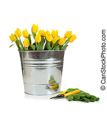 A bouquet of yellow tulips in a silver, metal pail with green gardening gloves and yellow handled sheers on a white background with copy space