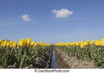 yellow tulips in dutch flower field with blue sky from low angle