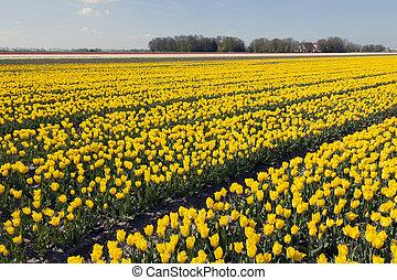 yellow tulips in dutch flower field with blue sky
