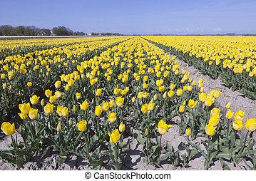 yellow tulips in flower field with blue sky in noordoostpolder