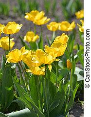 yellow tulips in garden