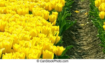 Yellow tulips growing on field in Holland, in Netherlands. Camera brings closer to tulips.