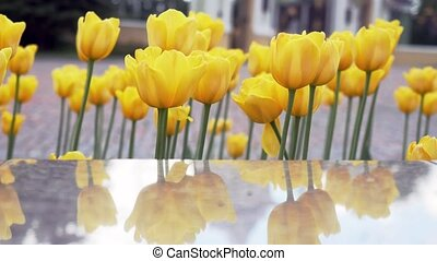 Yellow tulips in Springtime in a Square in slow motion. -...