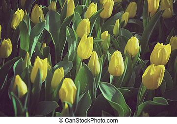 Yellow tulips in the garden