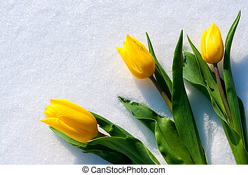 yellow tulips lie on the snow