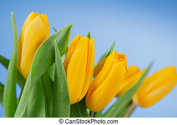 Yellow tulips on a blue background
