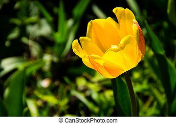 Yellow tulips on flowerbed in garden