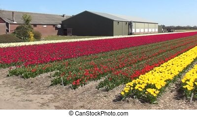 Yellow tulips on the field in the spring - Tulip (Tulipa) is...