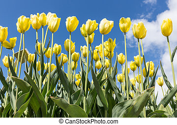 Yellow tulips over a blue sky background.