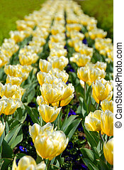 Yellow tulips row