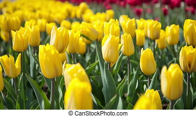 Yellow tulips swaying in the wind