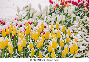Yellow tulips under snow in early spring